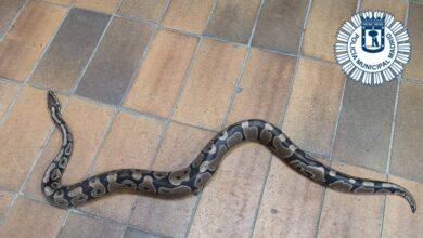 Encuentra una serpiente de pitón en su cocina en Villa de Vallecas (Madrid)