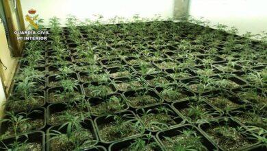 Detenida una banda que cultivaba marihuana en mansiones de lujo en San Juan (Alicante)