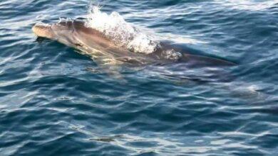 Denuncian al piloto de una moto acuática en Melilla por intentar atropellar delfines
