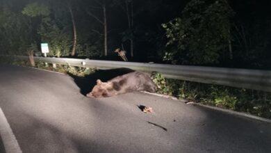 Intentan rescatar a un oso herido tras ser atropellado en Somiedo (Asturias)