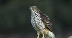 Confirmado un caso de virus del Nilo occidental en Cataluña en un ave rapaz en el Segrià