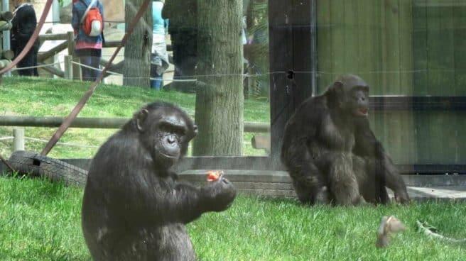 Gorilas en el zoo.