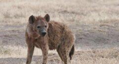 Hallan en Tarragona restos de hienas y jaguares de hace un millón de años