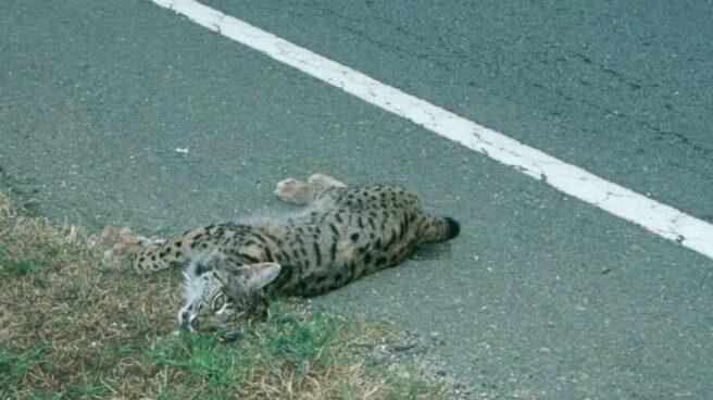 Imagen de un lince atropellado tomada por la ong WWF para exigir medidas urgentes