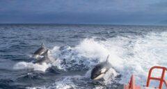 Trasladan dos barcos dañados por orcas al puerto de Cedeira en La Coruña