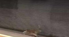 Un corzo corre por las vías de Metrovalencia y sorprende a los pasajeros de una estación