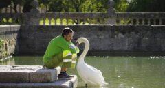La bella historia de amor entre el cisne y el jardinero del Escorial ha llegado a su fin
