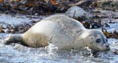 Investigadores proponen medidas para evitar que el Covid afecte a focas y pingüinos de la Antártida