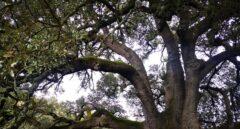 La carrasca milenaria que ha sido elegida mejor árbol de España en 2020