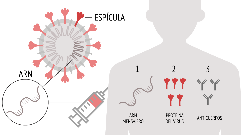 Infografía que explica cómo funciona la vacuna de Pfizer contra el coronavirus de ARN mensajero