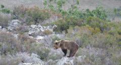 El oso pardo reina de nuevo en las montañas españolas