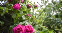La antigua flor española recuperada por el CSIC que puede marcar un hito en la perfumería