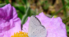 Mariposa 'Cupido lorquinii'.