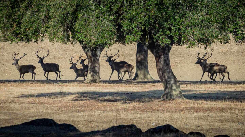 Una manada de ciervos, en la época de la berrea.
