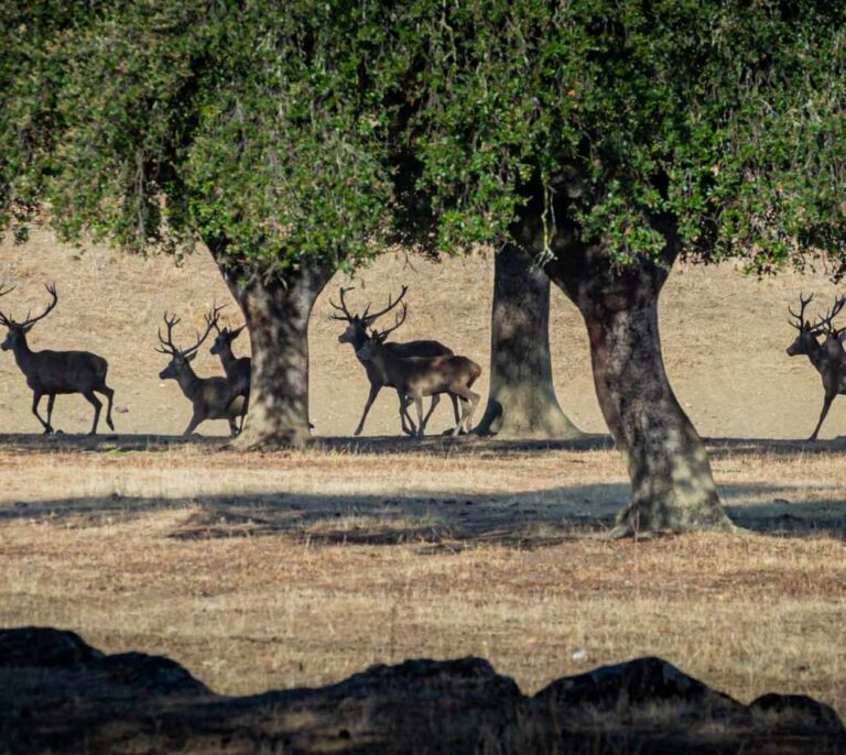 Quintos de Mora: un 30% más de ciervos abatidos durante 2020