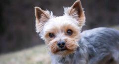 Perro de la raza Yorkshire Terrier.