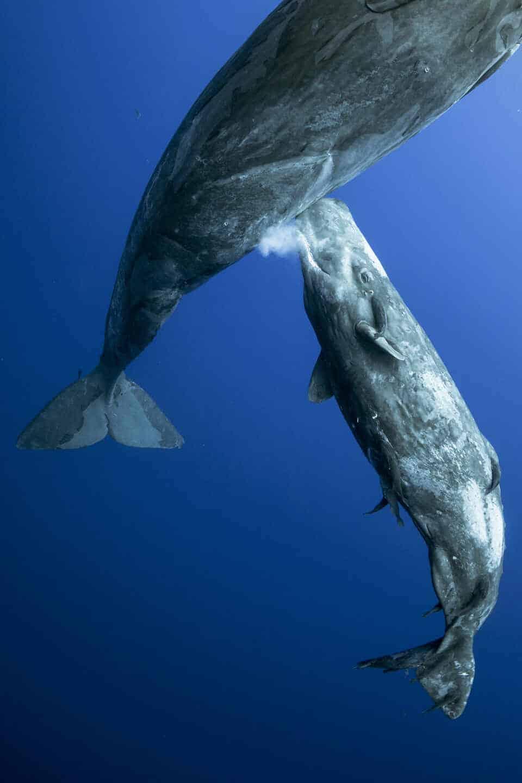 Fotografía submarina de una ballena amantando a su cachalote de Renee Capozzola