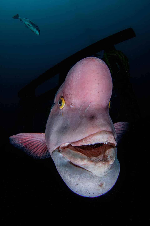 Fotografía submarina del pez napoleón asiático de Renee Capozzola