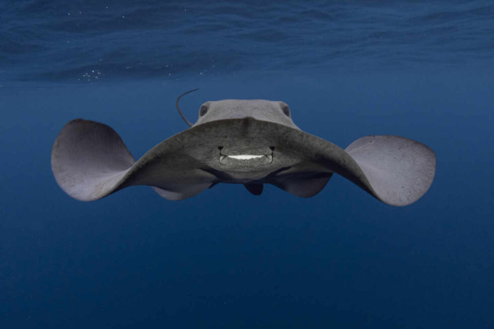 Fotografía submarina de la Raya pelágica de Renee Capozzola