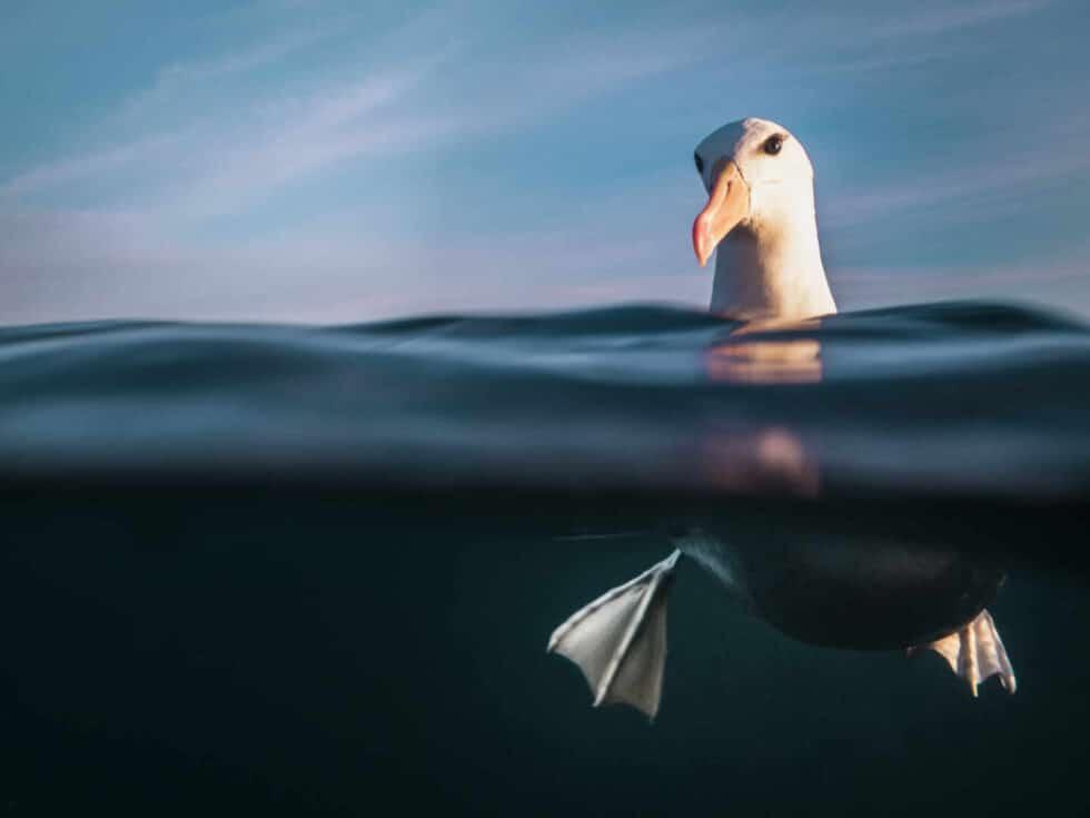 Fotografía submarina de un Albatros de ceja negra de Renee Capozzola