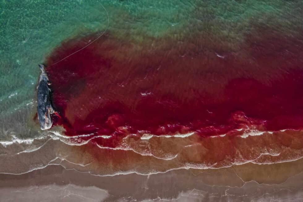 Fotografía de un cachalote muerto en la orilla de Renee Capozzola