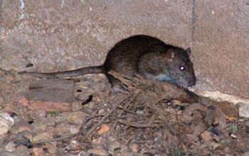 Hallan numerosas ratas negras trepadoras en Madrid y alertan de su peligrosidad