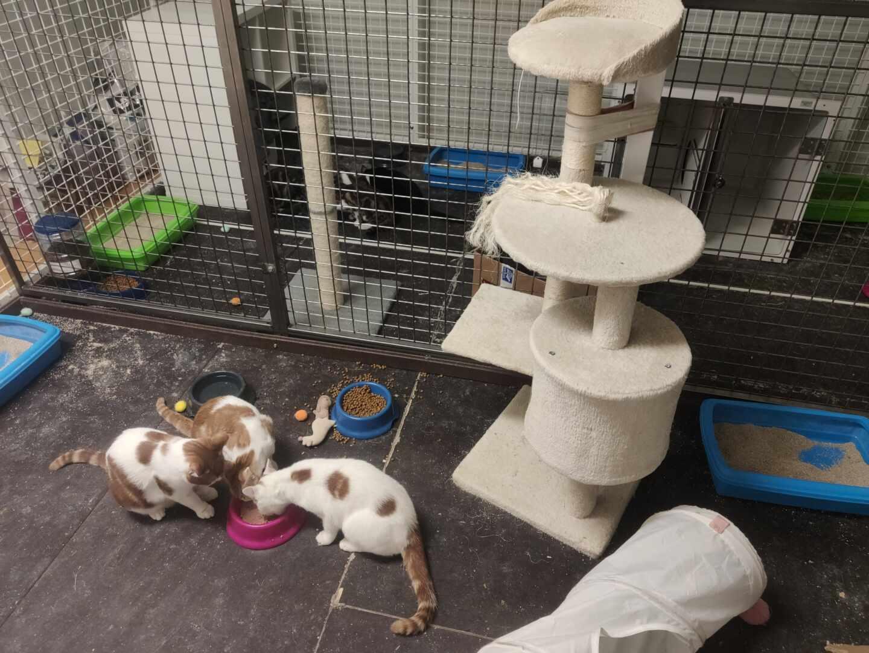 Varios gatos que forman parte del proyecto experimental sobre el Covid en el laboratorio del centro VISAVET-UCM.