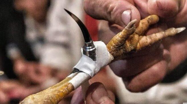 La pata de un gallo con una cuchilla