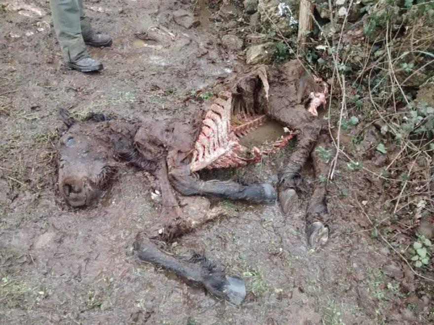 Restos de un potro atacado por los lobos en Bárcena de Pie de Concha