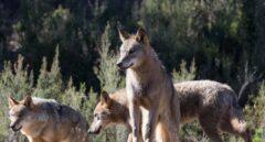 Siete CCAA recurrirán la prohibición de cazar lobos en España