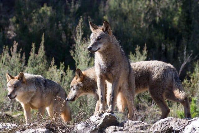 Varios lobos ibéricos del Centro del Lobo Ibérico en localidad de Robledo de Sanabria, en plena Sierra de la Culebra.