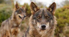 La caza del lobo quedará prohibida en España