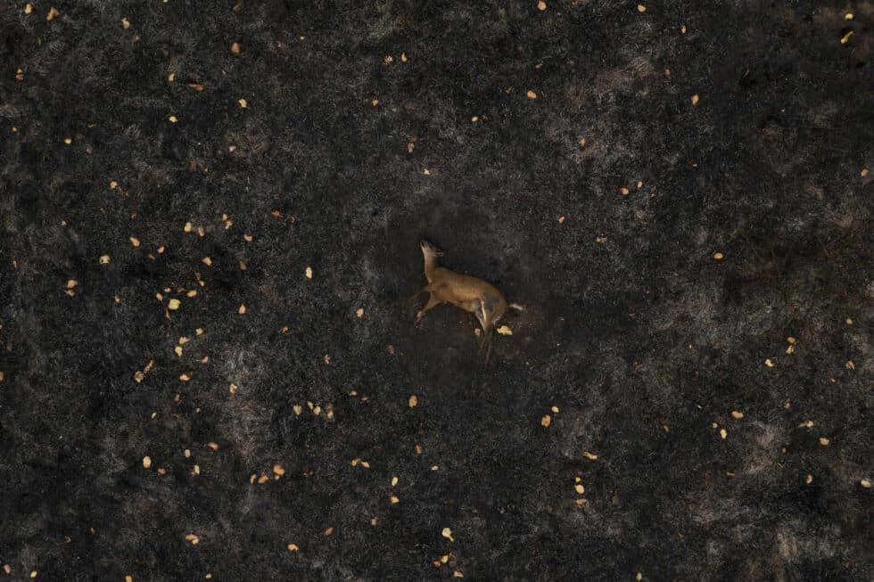 Un ciervo muerto yace en un prado quemado en una zona del Pantanal en Brasil.