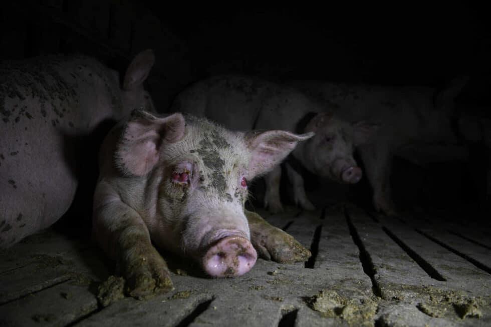 Los investigadores de derechos de los animales dicen que la industria dificulta el acceso a las granjas y que se ven obligados a acceder a tales instalaciones de forma encubierta, a menudo de noche, para documentar lo que sucede en el interior. Estas fotografías fueron tomadas en una serie de incursiones de este tipo, en diferentes fechas, en diversas instalaciones de España.