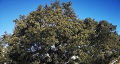 La Carrasca de Lecina (Huesca), elegida como 'Árbol Europeo del Año'