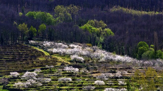 Floración de cerezos en el Valle del Jerte.