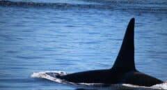 VÍDEO | Salvamento alerta nuevamente de la presencia de orcas en la costa de Galicia