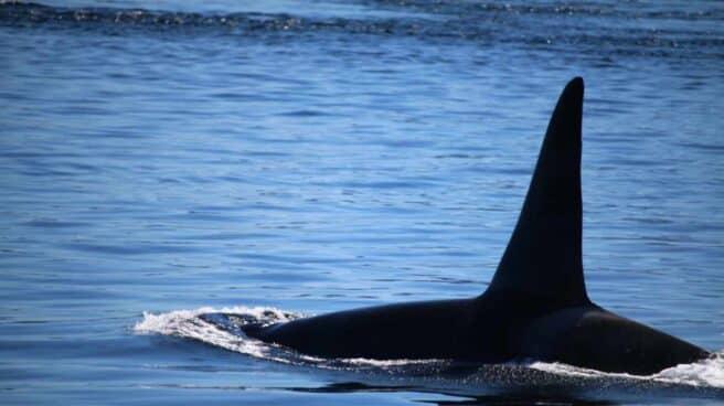 Aleta de una orca