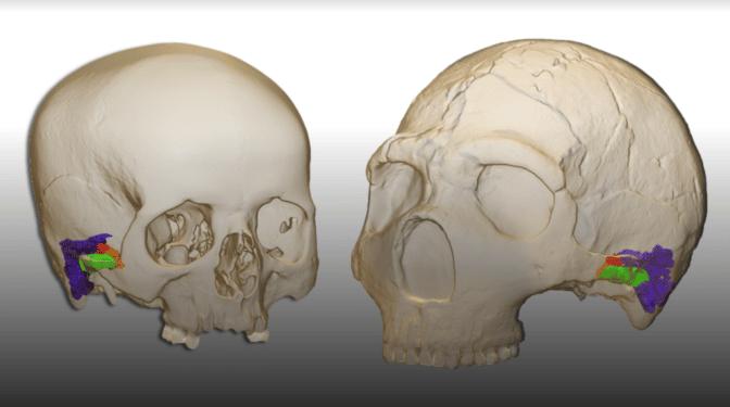 La especie humana habla desde hace, al menos, 120.000 años