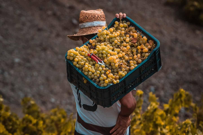Un agricultor recoge uvas durante la época de recolecta