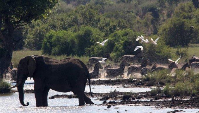Un presunto cazador ilegal muere aplastado por una estampida de elefantes