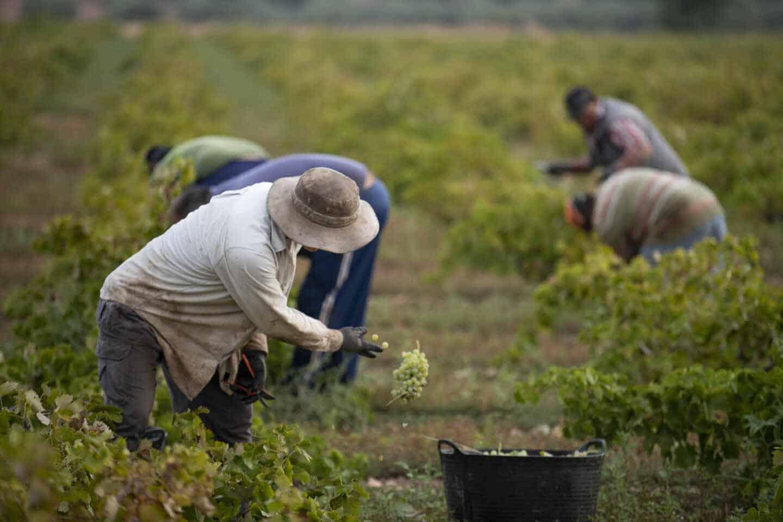 Varios trabajadores de la vendimia recogen uvas verdes y las introducen en cubos de plástico para que sean posteriormente trasladadas durante el inicio de la época de vendimia en la localidad de Carrión de Calatrava (Ciudad Real), en Ciudad Real, a 20 de septiembre de 2019.