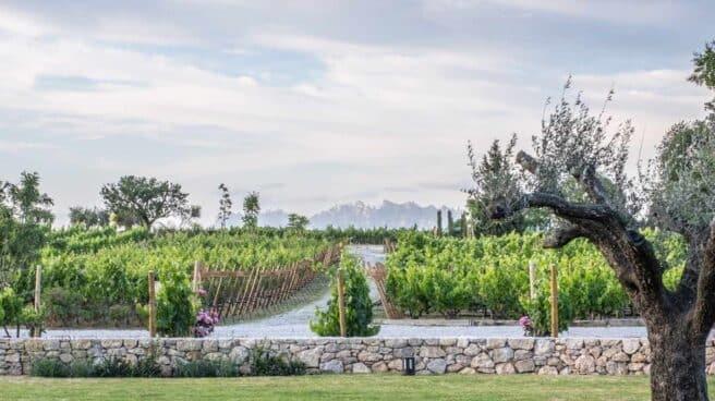 Viñas de Bodega Pacs del Penedès de Família Torres