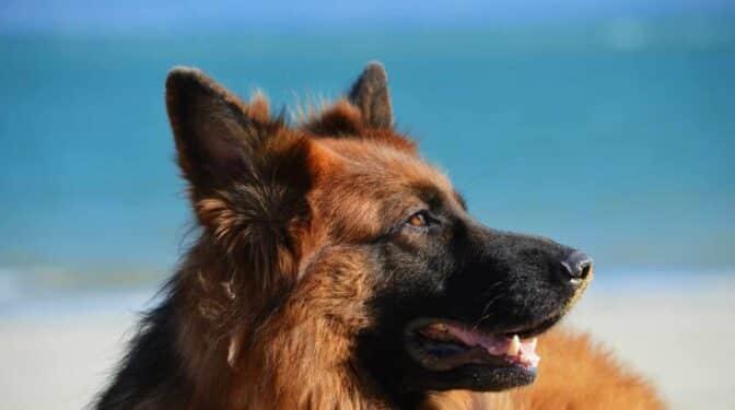 Soco, el perro del Ejército que huele el Covid