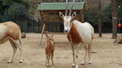 Nace en el Zoo de Barcelona una cría de oryx blanco, una especie extinguida en la naturaleza