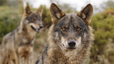 La última cacería del lobo ibérico: 7.000 euros la pieza