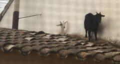 Dos cabras se escapan y terminan en el tejado del Ayuntamiento