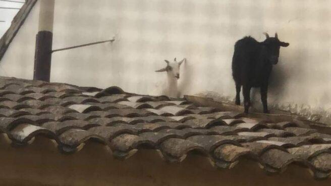 Cabras escapadas