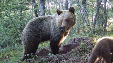 Los técnicos concluyen que el ataque del oso en Asturias fue casual y fortuito