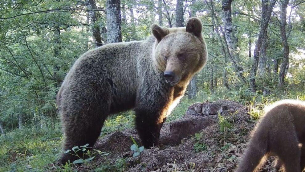 Un oso en el Principado de Asturias.